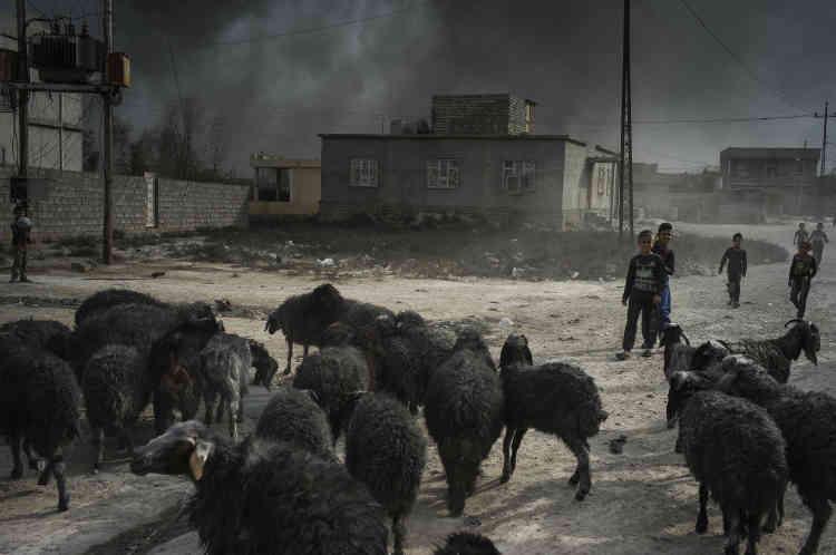 Des troupeaux de moutons à la laine noircie se frayent un chemin entre de larges flaques de pétrole.