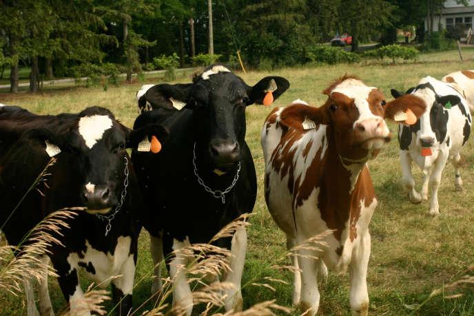 Des vaches dans l'Ontario.