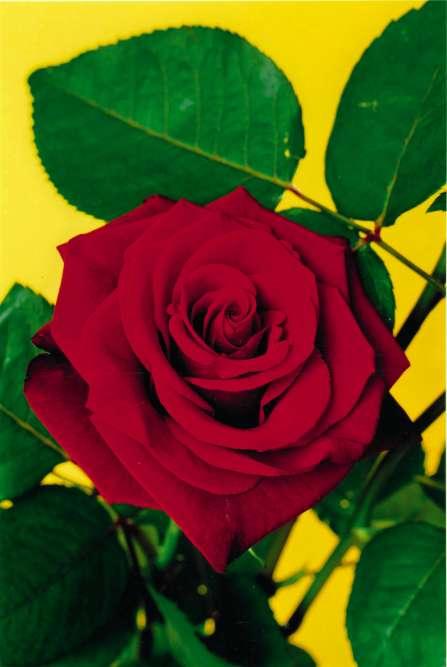 « Flowerpicture # 11».