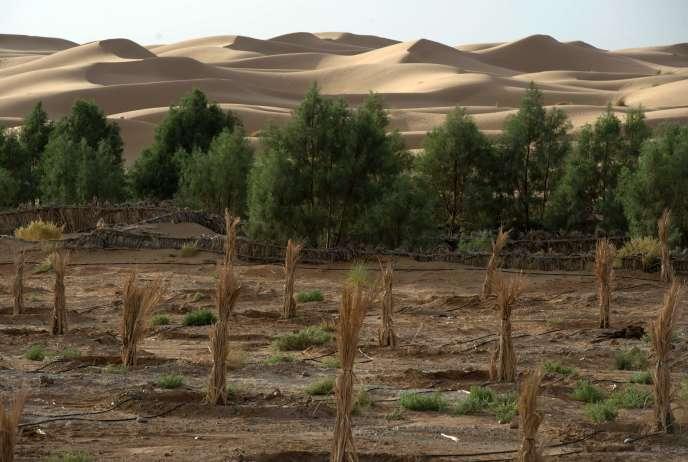 Cette palmeraie de l'oasis d'Erfoud, dans le Sahara marocain, encaisse durement les effets du réchauffement climatique, qui s'accélère depuis trois ans.