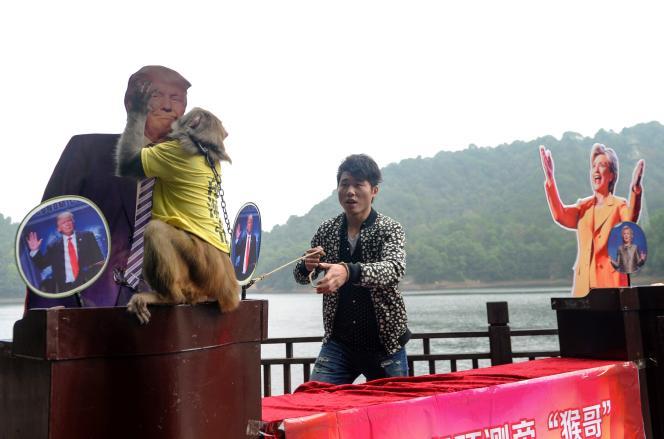 Un singe« oracle» prédit une victoire de Donald Trump contre Hillary Clinton, le 3 novembre àChangsha, en Chine.