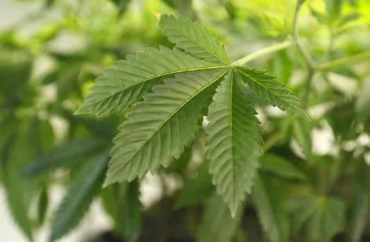 La Californie, Etat le plus peuplé des Etats-Unis, a légalisé l'usage récréatif du cannabis par référendum, le 8 novembre.