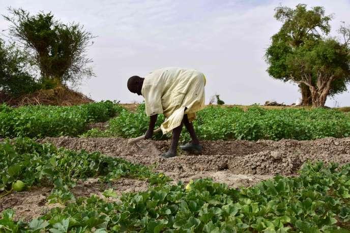 Culture du melon à Diffa, au Niger, en juin.