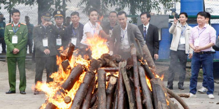 Des défenses d'éléphant et des cornes de rhinocérosdétruites le 12 novembre 2016 à Hanoï par les autorités vietnamiennes.