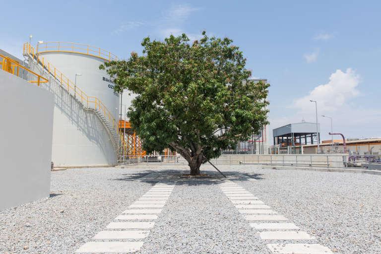 L'unique manguier préservé de tout le site Ciprel d'Abidjan.