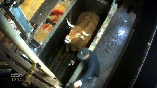 Image tirée d'une vidéo de l'association L214, mise à disposition le 3 novembre, montrant une vache dans un abattoir de Limoges.
