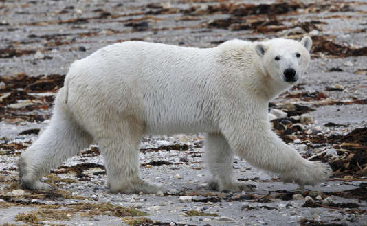 La belle vidéo d'un immense ours et d'un petit chien jouant ensemble ne doit pas faire oublier la réalité : l'ours mangera le chien quand il aura faim.