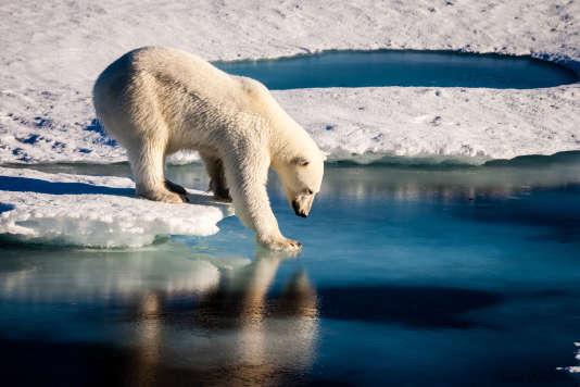 Un ours polaire teste la solidité de la glace dans l'Arctique.