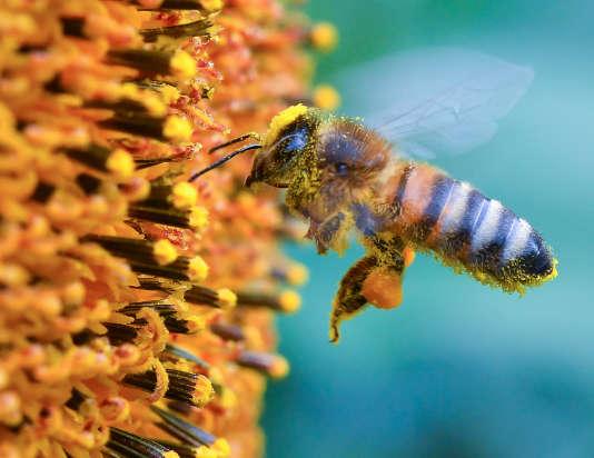Une abeille recoltant le pollen d'un tournesol, le 5 juillet 2016, à Francfort-sur-l'Oder (Allemagne).
