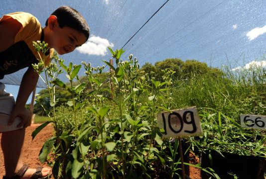 Des plants de stevia, àCaacupé, au Paraguay, en 2012.