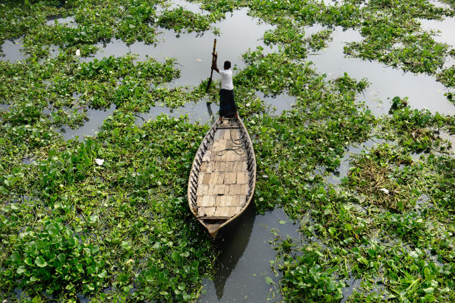 La jacinthe d'eau est une plante invasive qui asphyxie lentement mais sûrement faune et flore dans de nombreux pays enAfrique, en Asie ou en Amérique latine. Ici au Bangladesh.