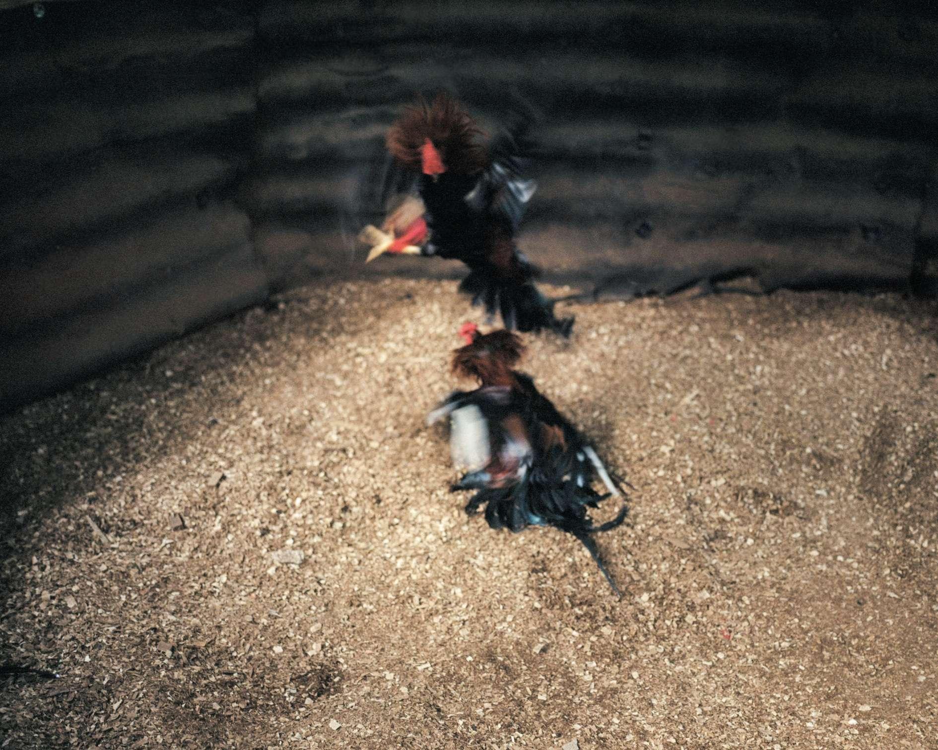 L'une des deux séances «d'entraînement» hebdomadaires de coqs d'une ferme de Viñales.