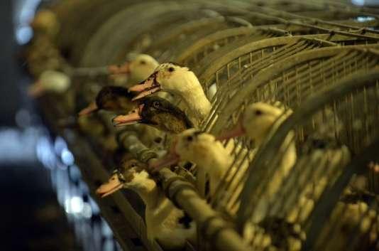 Après la découverte d'un foyer de grippe aviaire dans un élevage du Tarn, les exportations de foie gras ne pourront pas reprendre hors d'Europe.