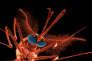 Le moustique « Anopheles gambiae », vecteur du paludisme, est visé par le forçage génétique. T. BERROD/S.P.L./COSMOS