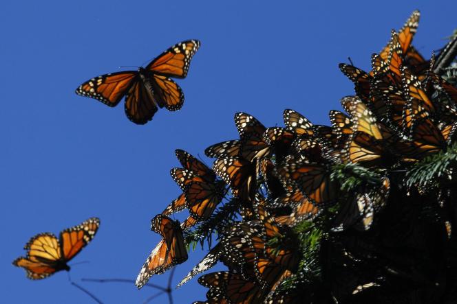 Des papillons monarques dans le sanctuaire «El Rosario» sur une montagne de l'État mexicain de Michoacan, le 27 novembre 2013.