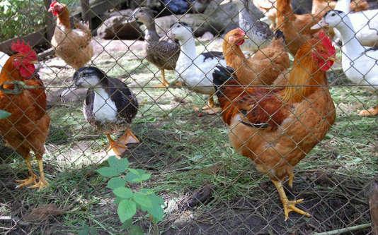 Le ministère de l'agriculture a annoncé relever le niveau de risque vis-à-vis de la grippe aviaire de «modéré» à «élevé» sur l'ensemble du territoire.