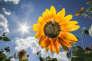 Une abeille récolte du pollen sur un tournesol (photo d'illustration).