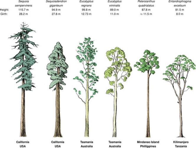 Les essences d'arbres les plus hauts du monde avec leur circonférence et leur dimension.