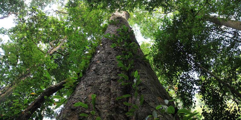 L' « entandrophragma excelsum » découvert sur les pentes du Kilimandjaro par le botaniste Andreas Hemp est l'arbre le plus haut d'Afrique.