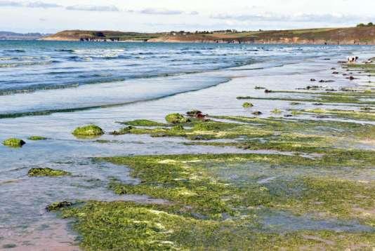 Inoffensives quand elles sont fraîches, les algues vertes dégagent en se décomposant de l'hydrogène sulfuré (H2S), dont les émanations à doses élevées peuvent entraîner la mort.