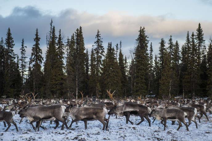 Des rennes dans le nord de la Suède, le 28 octobre 2016.