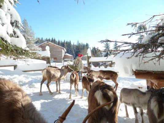 Une quarantaine de rennes évoluent en liberté et se laissent approcher.
