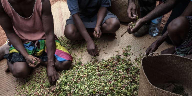 Des femmes trient leur culture de girofle dans le petit village d'Anamborano, en novembre 2016.