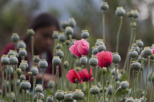 Une femme en train de récolter du pavot dans le Guerrero.