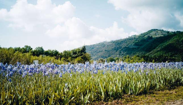 Un champ d'« Iris pallida », baptisés « Sweet Iris» par les Anglais.
