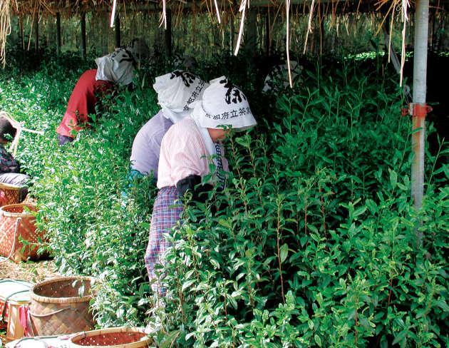L'étuvage rapide des feuilles de théiers cultivés sur les collines d'Uji se fait dans la foulée de la récolte.