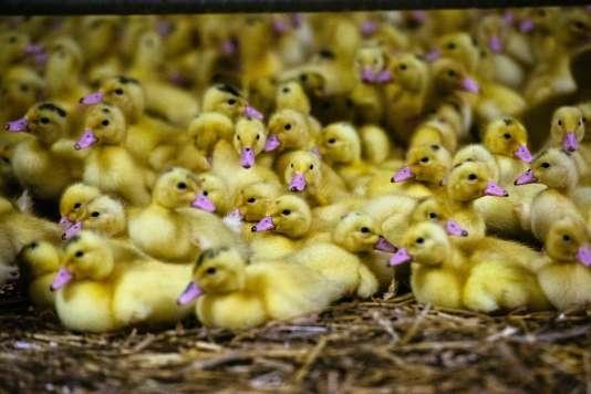 Selon la Coordination rurale du département, «le département était indemne de la grippe aviaire jusqu'à ce que des animaux du Tarn viennent infecter un élevage de Monbahus ».