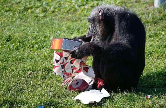 Un chimpanzé ouvre un cadeau de Noël au Lion Country Safari deWest Palm Beach, en Floride, le 22 décembre 2016.