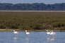 Flamants roses,Parc national de Doñana, en mars 2014.
