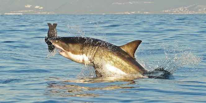 Un grand requin blanc dans la Baie False, près du Cap, en juillet 2010.