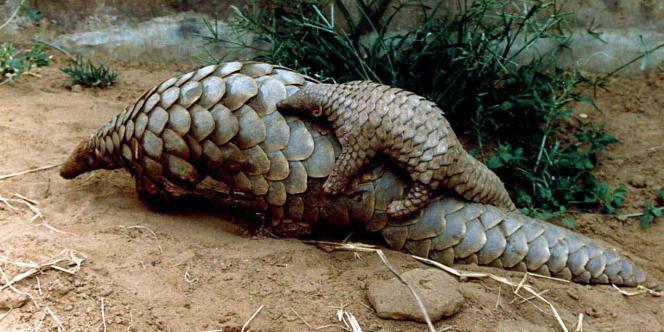Deux espèces de pangolins d'Asie one été classées « en danger critique d'extinction ».