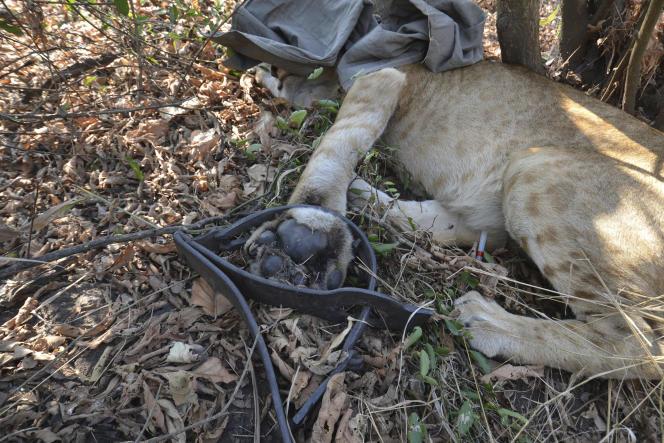 Ce lion âgé d'un an s'est coincé la patte dans un piège à loup posé par des braconniers dans leparc de Gorongosa, au Mozambique,en 2015.