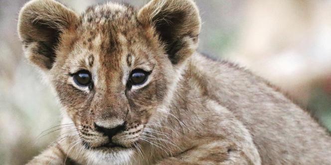 Un lionceau de trois mois dans le parc national du Gorongosa, dans le centre du Mozambique.
