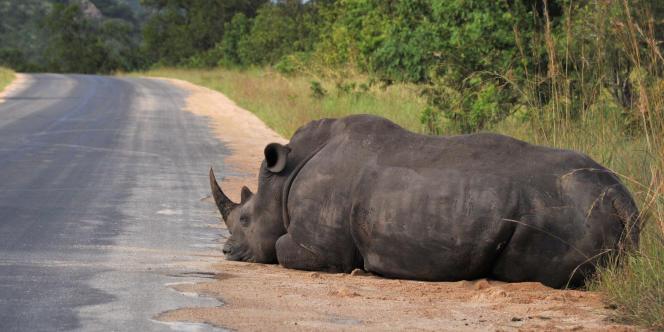 Un rhinocéros noir au bord de la route dans le parc national Kruger, en février 2013 près de Nelspruit, en Afrique du Sud.