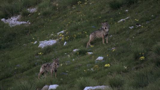 Le couple alpha que Jean-Michel Bertrand a réussi à filmer dans sa vallée.