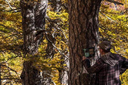Jean-Michel Bertrand relève une des caméras automatiques qu'il a posées à des endroits stratégiques de la vallée, pour tenter de capter les déplacements des loups.