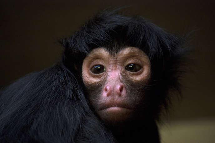 Au Brésil, une partie des menaces qui pèsent sur le singe-araignée (Ateles paniscus) sont directement attribuables à l'exploitation forestière et à la production agricole entraînées par la consommation de biens aux Etats-Unis.