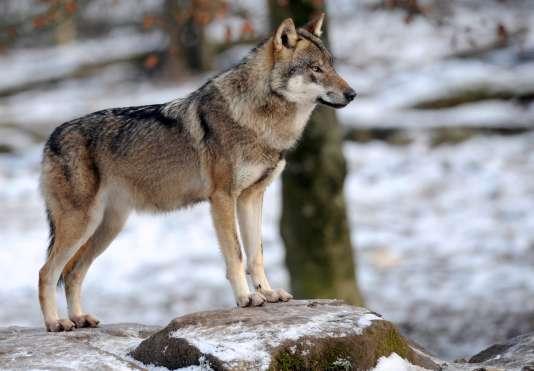 Un loup dans le parc de Sainte-Croix, à Rhodes, dans l'est de la France.