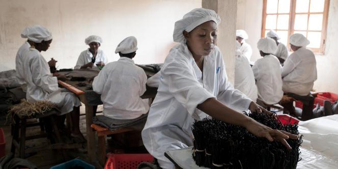 Des employés de la société HENRI FRAISE & Cie trient des gousses de vanilles traitées avant exportation selon leur longeur ou leur couleur.
