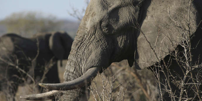 Un éléphant d'Afrique près du parc Kruger, en Afrique du Sud, le 30 septembre2016.