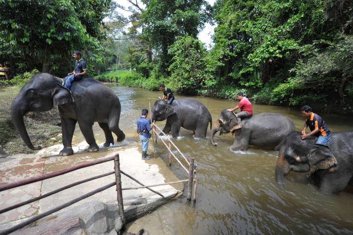 Le bois de Malaisie, largement commercialisé en Europe et en Chine, a un peu plus privé d'abri l'éléphant malais (ici dans le centre de Kuala Gandah, près de Kuala Lumpur, enjuin2013) et le menace.