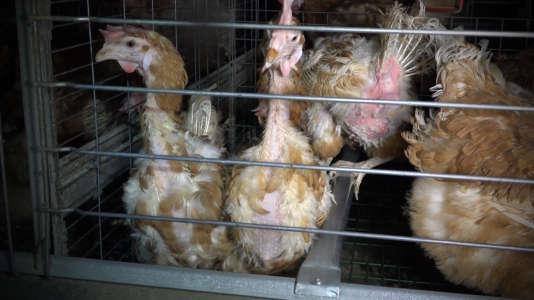 La vidéo de l'association L214 sur le GAEC du Perrat, en mai 2016, montrait des poux qui grouillaient sur les œufs et des cadavres en décomposition gisant au milieu d'autres poules déplumées. L'élevage a été fermé depuis.