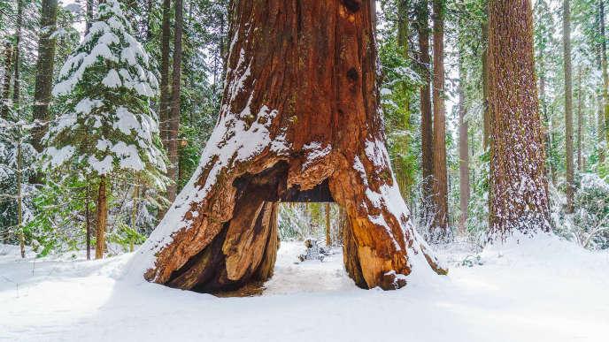 Photo non datée duPioneer Cabin Tree.
