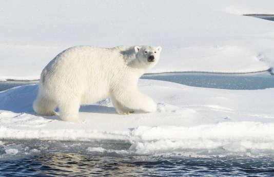 Un ours polaire photographié par la garde côtière des Etats-Unis, le 24 août 2015, depuis lebrise-glace«USCGC Healy», dans l'Arctique.