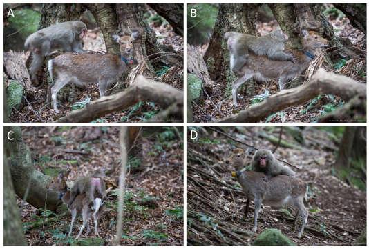 Un jeune mâle macaque «monte» une biche saki sur l'île japonaise de Yakushima (A,B,C). Sur l'image D, une autre femelle s'oppose à la saillie