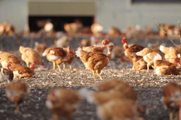Des poulets d'une ferme de Vielle-Soubiran, dans le sud de la France, le 10décembre2015.